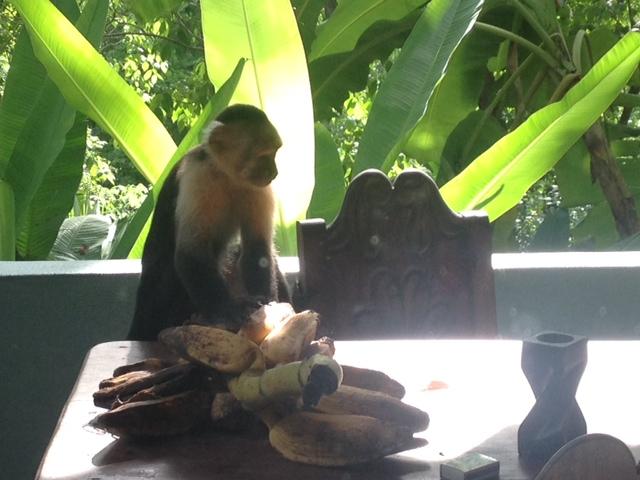 קופים בקוסטה ריקה