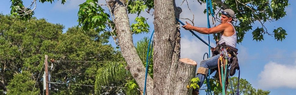 גיזום עצים בכפר ברא  | כריתת עצים בכפר ברא | קבלני גיזום בכפר ברא | חברות כריתת עצים בכפר ברא | גיזום וכריתת עצים באזור כפר ברא